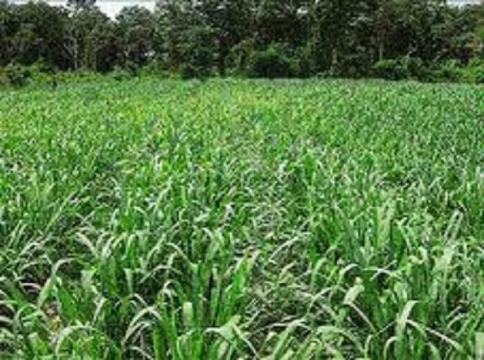 Hạt giống cỏ ghi nê, hạt cỏ ghinê, cỏ voi, cỏ sữa, chuẩn giống, số lượng lớn.