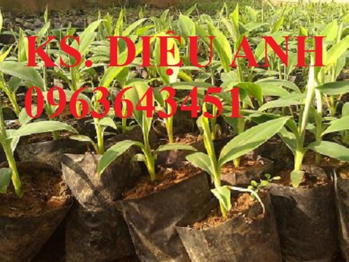Chuyên cây giống chuối cấy mô: Chuối tiêu hồng, chuối già lùn, chuối laba, chuối đỏ Đăcca2