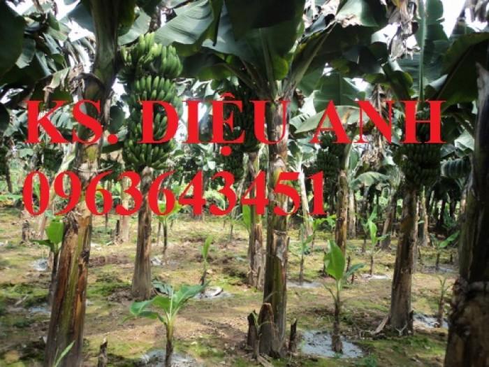 Chuyên cây giống chuối cấy mô: Chuối tiêu hồng, chuối già lùn, chuối laba, chuối đỏ Đăcca3