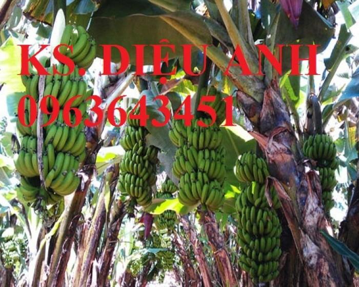Chuyên cây giống chuối cấy mô: Chuối tiêu hồng, chuối già lùn, chuối laba, chuối đỏ Đăcca5