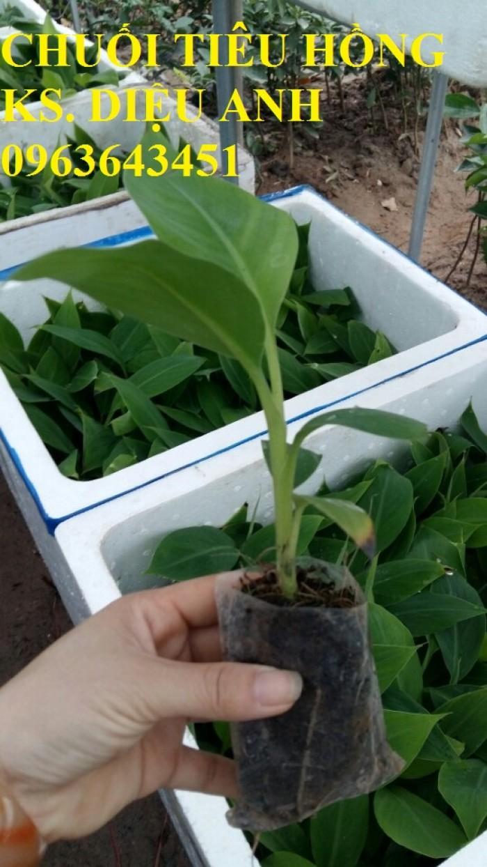 Chuyên cây giống chuối cấy mô: Chuối tiêu hồng, chuối già lùn, chuối laba, chuối đỏ Đăcca9