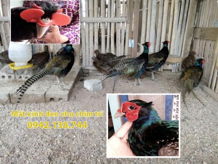 Mắt kính đeo cho chim khắc phục hiện tượng cắt mổ lông0