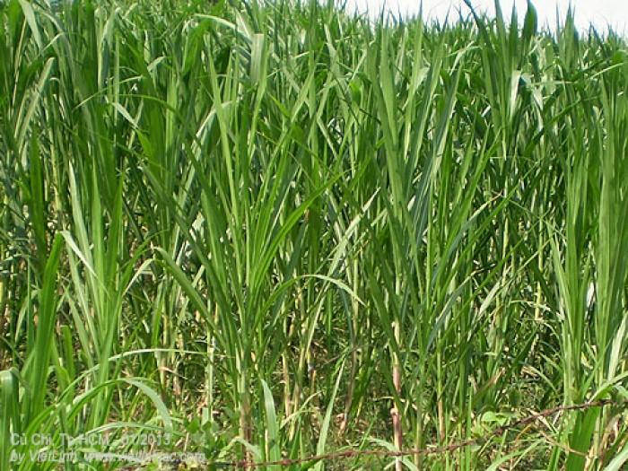 Hạt giống cỏ sweet jumbo, hạt giống sweet jumbo, giống cỏ sweet jumbo, số lượng lớn1