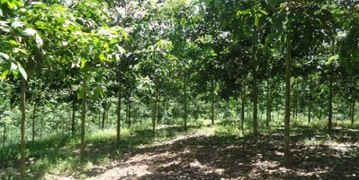 Bán đất cao su hơn 200 hecta tại huyện đạ huoai tỉnh Lâm Đồng