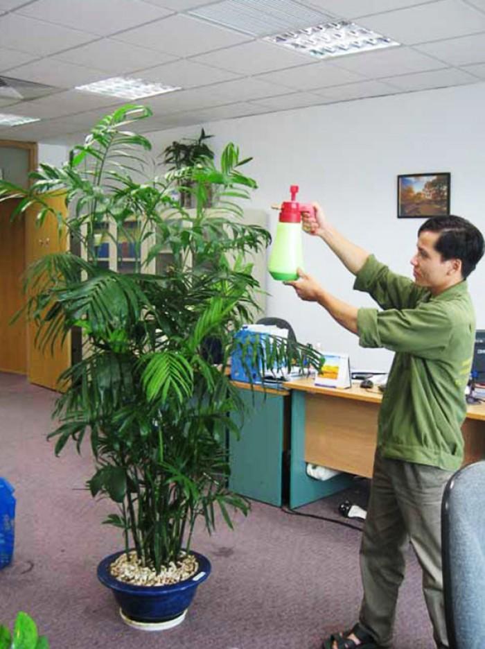 Cây cau Hawai - cây đem lại tài lộc, phú quý gia tăng đường tài vận cho bạn