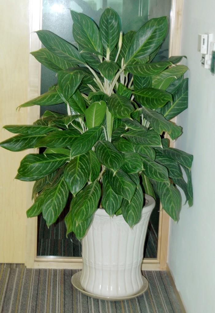 Cây Bạch Mã Hoàng Tử - cây đem lại may mắn, sự thăng tiến và suôn sẻ trong công việc3