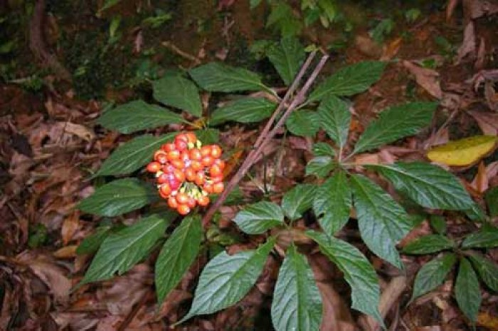 Chuyên cung cấp cây giống sâm ngọc linh, giống cây sâm ngọc linh,hạt giống sâm ngọc linh1