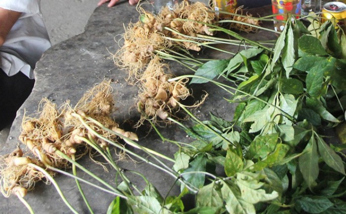 Chuyên cung cấp cây giống sâm ngọc linh, giống cây sâm ngọc linh,hạt giống sâm ngọc linh5