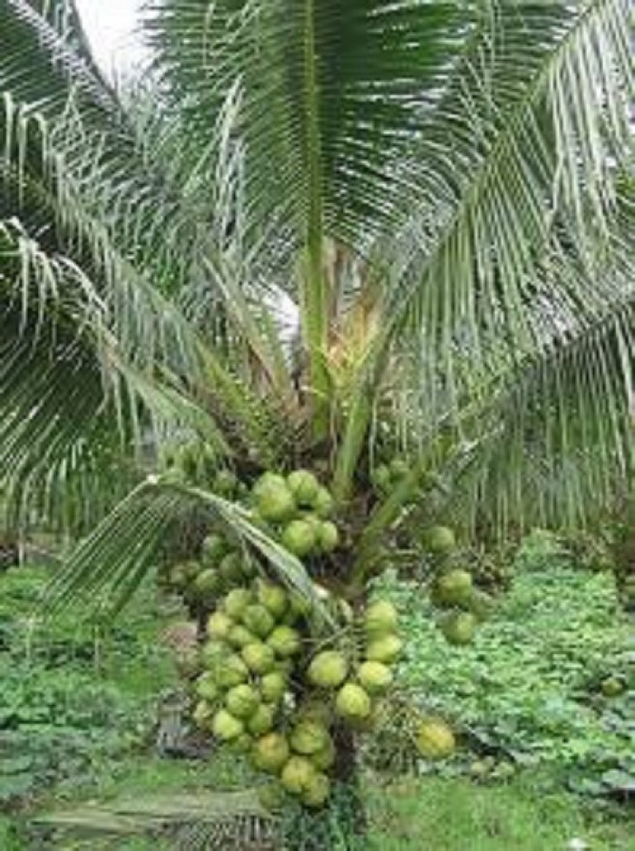 Cây giống dừa xiêm xanh lùn, dừa xiêm lùn, cây dừa xiêm, giống cây dừa xiêm.