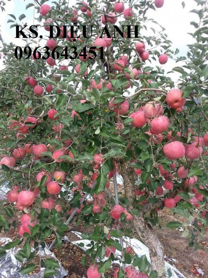 Cây giống nhập mới lạ: táo tây ruột đỏ, na bở Đài Loan, mãng cầu Đài Loan, mít trái dài Đài Loan S16