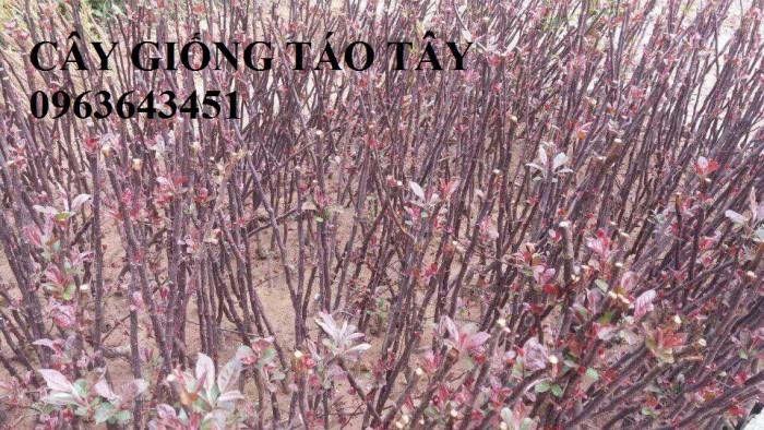 Cây giống nhập mới lạ: táo tây ruột đỏ, na bở Đài Loan, mãng cầu Đài Loan, mít trái dài Đài Loan S18