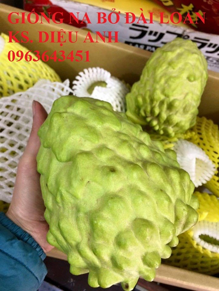 Cây giống nhập mới lạ: táo tây ruột đỏ, na bở Đài Loan, mãng cầu Đài Loan, mít trái dài Đài Loan S111