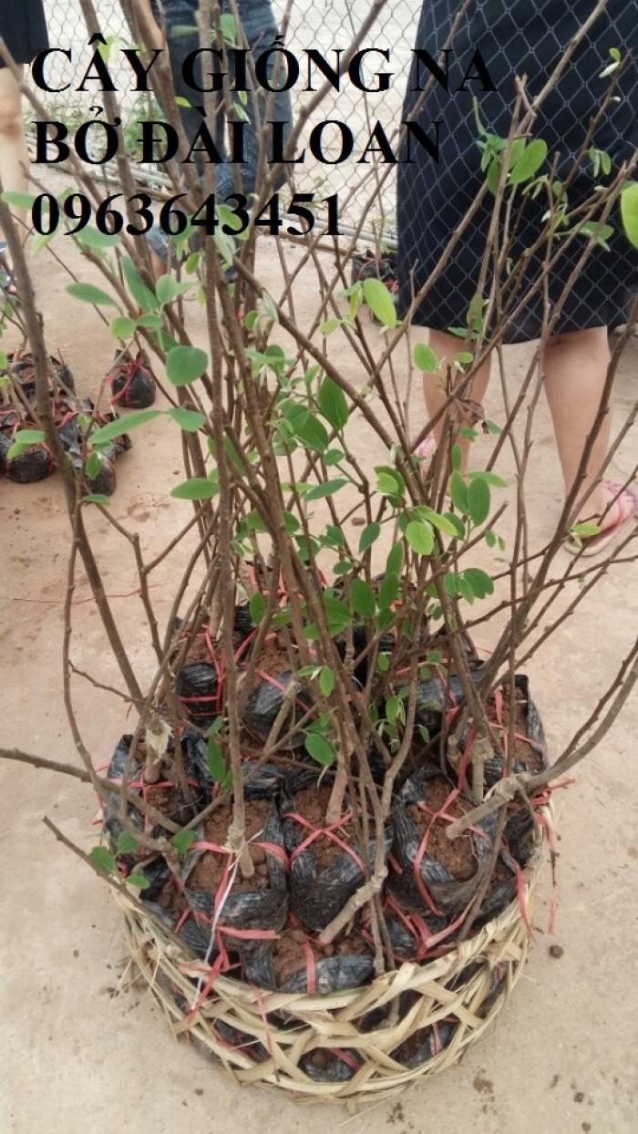 Cây giống nhập mới lạ: táo tây ruột đỏ, na bở Đài Loan, mãng cầu Đài Loan, mít trái dài Đài Loan S114