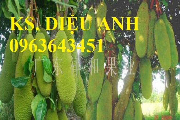 Cây giống nhập mới lạ: táo tây ruột đỏ, na bở Đài Loan, mãng cầu Đài Loan, mít trái dài Đài Loan S121