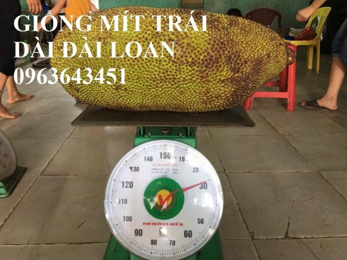Cây giống nhập mới lạ: táo tây ruột đỏ, na bở Đài Loan, mãng cầu Đài Loan, mít trái dài Đài Loan S126