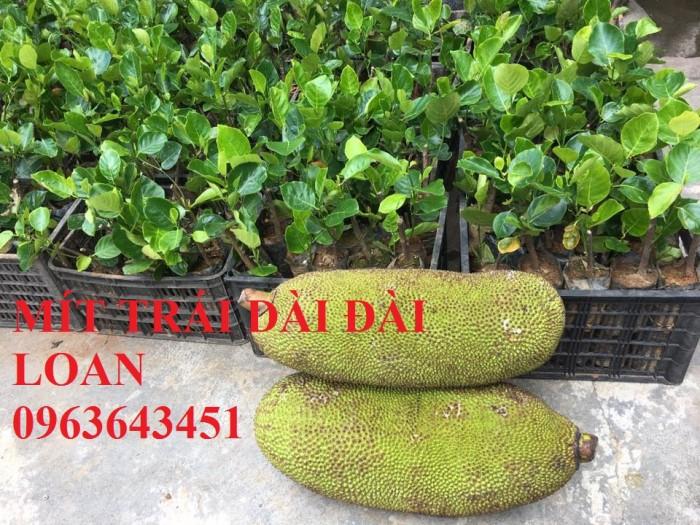 Cây giống nhập mới lạ: táo tây ruột đỏ, na bở Đài Loan, mãng cầu Đài Loan, mít trái dài Đài Loan S127