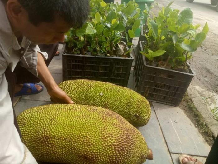 Cây giống nhập mới lạ: táo tây ruột đỏ, na bở Đài Loan, mãng cầu Đài Loan, mít trái dài Đài Loan S128