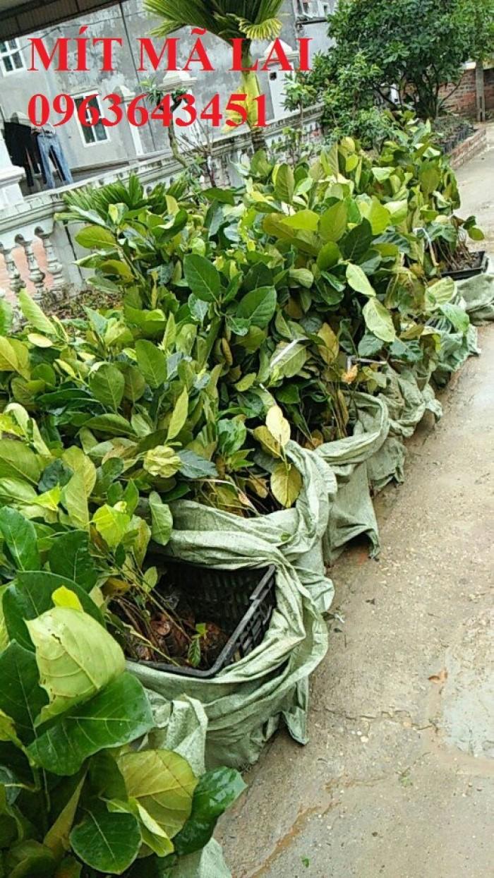 Cây giống nhập mới lạ: táo tây ruột đỏ, na bở Đài Loan, mãng cầu Đài Loan, mít trái dài Đài Loan S129