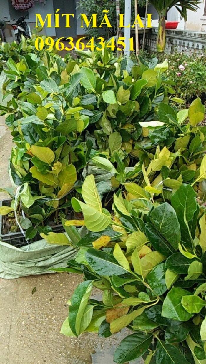 Cây giống nhập mới lạ: táo tây ruột đỏ, na bở Đài Loan, mãng cầu Đài Loan, mít trái dài Đài Loan S130