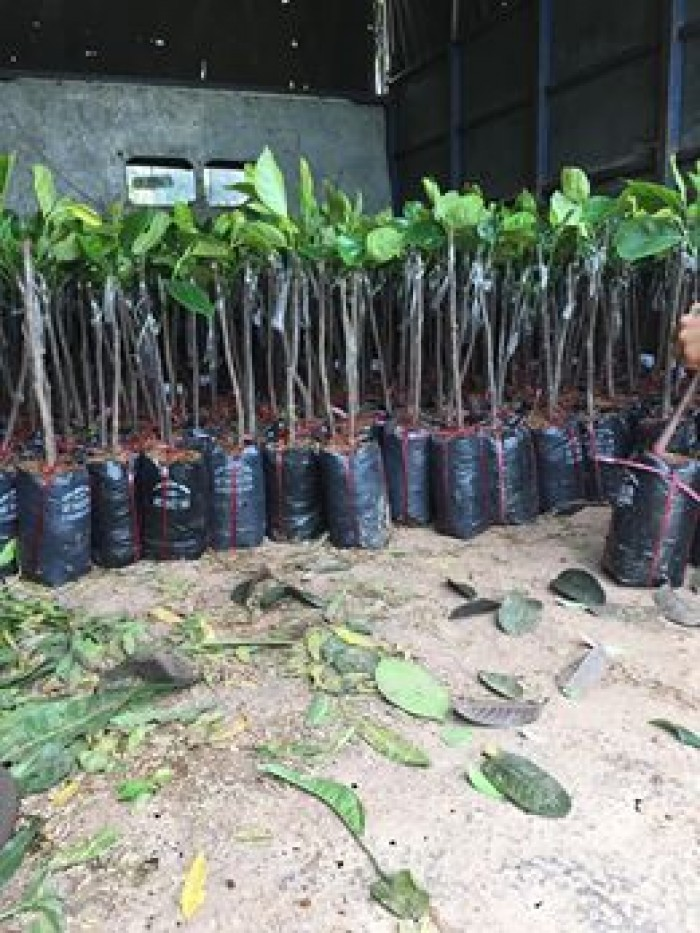 Cung cấp cây giống mít thái siêu sớm1