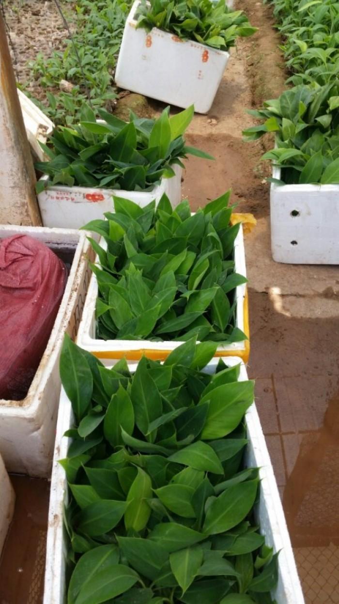 Giống Cây Chuối Nuôi Cấy Mô, kỹ thuật trồng và chống sâu bệnh chuối cấy mô.
