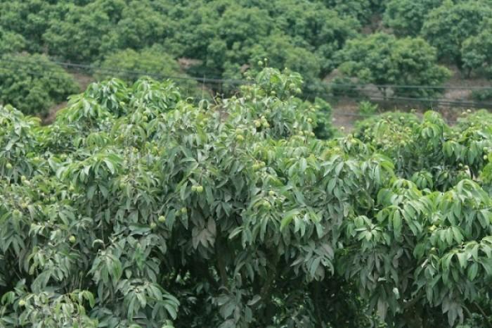 Cây vải thiều, giống cây vải thiều, cung cấp số lượng lớn, cam kết chuẩn giống5
