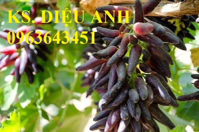 Chuyên cây giống nho nhập khẩu: nho ngón tay, nho móng tay, nho phù thủy, nho Pháp, nho thân gỗ.2