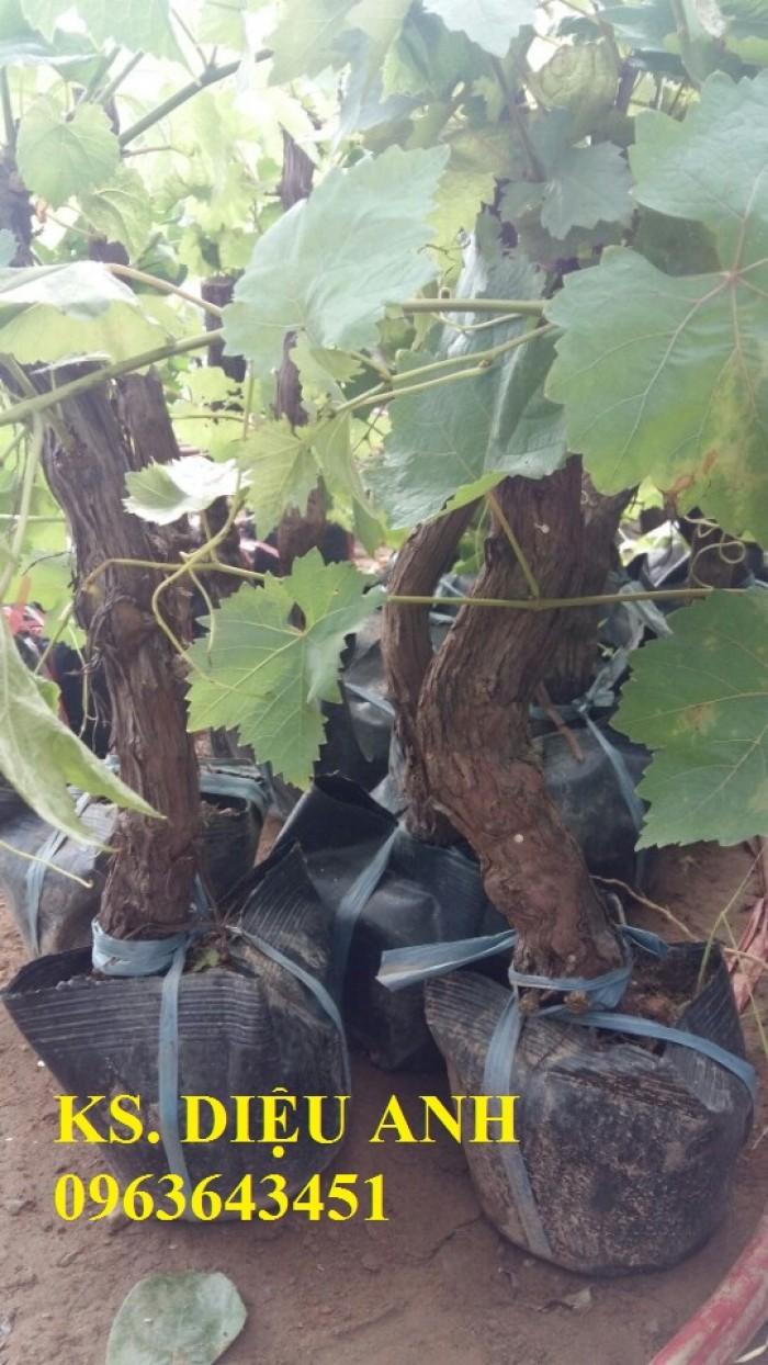 Chuyên cây giống nho nhập khẩu: nho ngón tay, nho móng tay, nho phù thủy, nho Pháp, nho thân gỗ.16