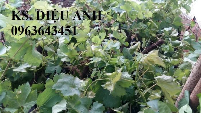 Chuyên cây giống nho nhập khẩu: nho ngón tay, nho móng tay, nho phù thủy, nho Pháp, nho thân gỗ.15
