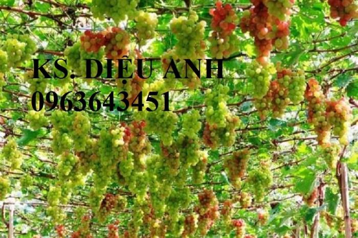Chuyên cây giống nho nhập khẩu: nho ngón tay, nho móng tay, nho phù thủy, nho Pháp, nho thân gỗ.22
