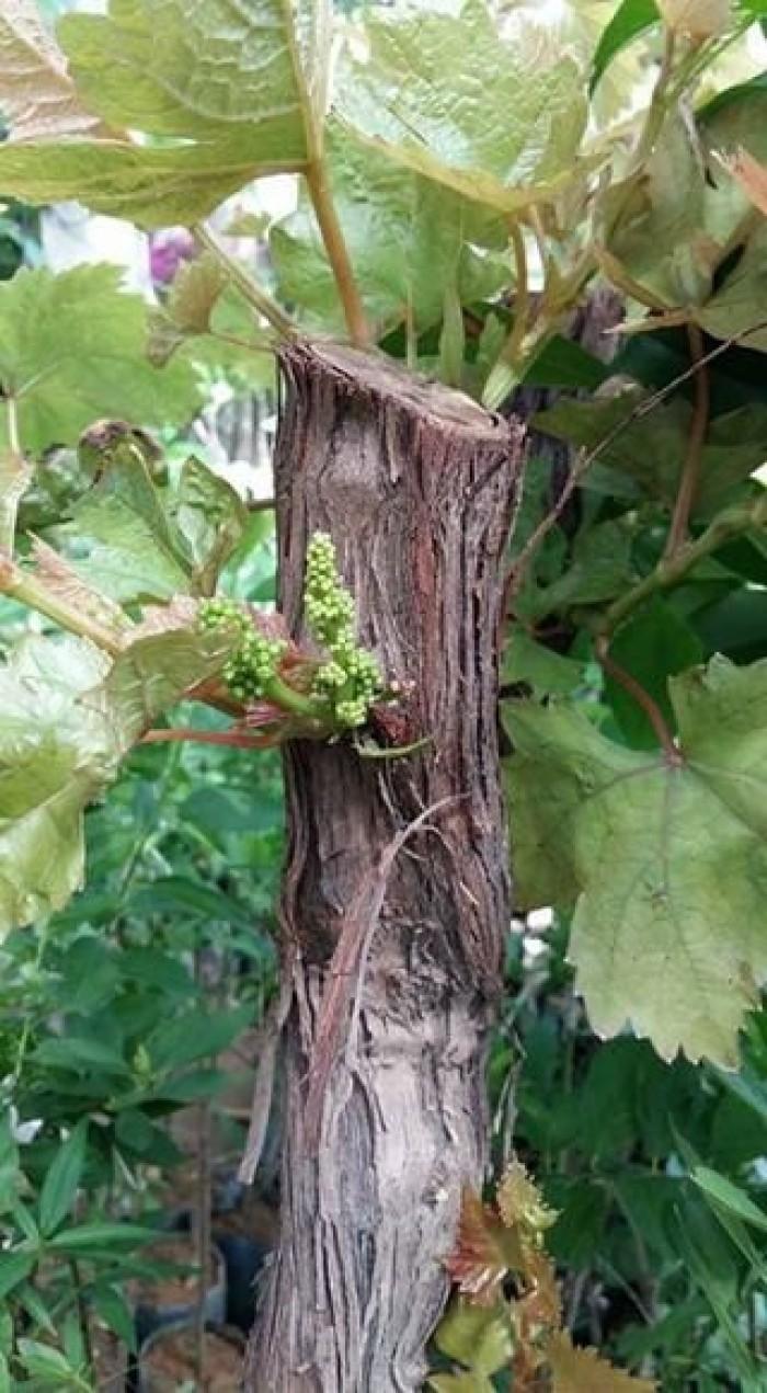 Chuyên cây giống nho nhập khẩu: nho ngón tay, nho móng tay, nho phù thủy, nho Pháp, nho thân gỗ.25