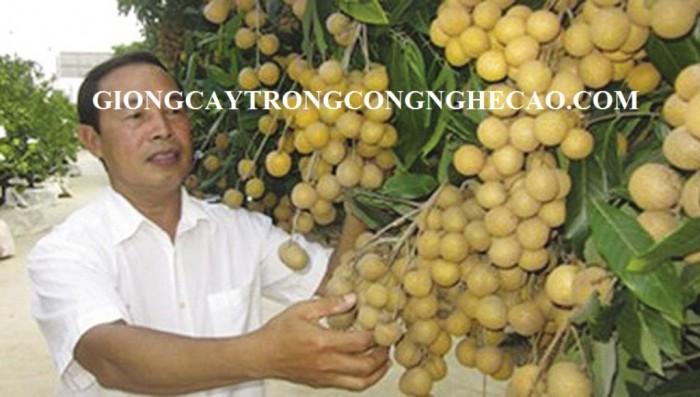Kỹ thuật trồng và chăm sóc giống cây nhãn muộn8