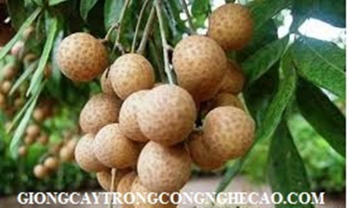 Kỹ thuật trồng và chăm sóc giống cây nhãn muộn7