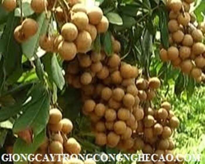 Kỹ thuật trồng và chăm sóc giống cây nhãn muộn5