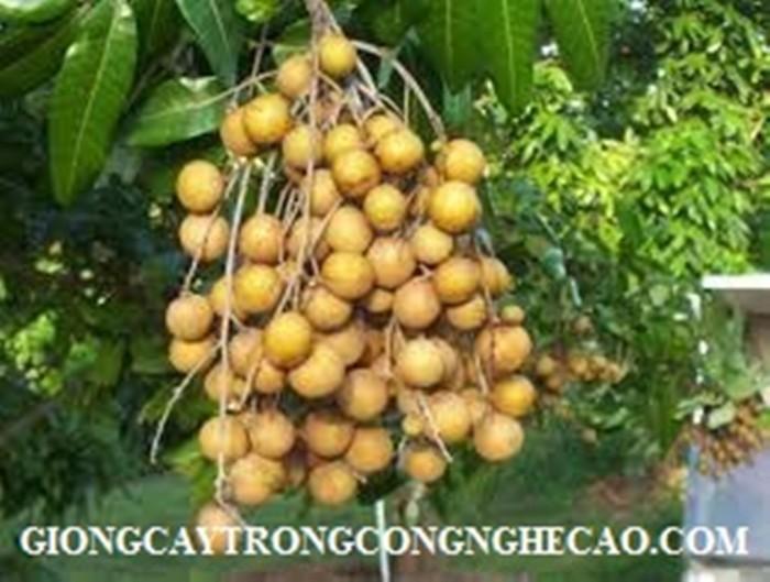 Kỹ thuật trồng và chăm sóc giống cây nhãn muộn3