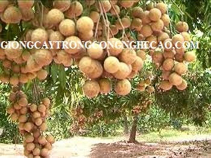 Kỹ thuật trồng và chăm sóc giống cây nhãn muộn4