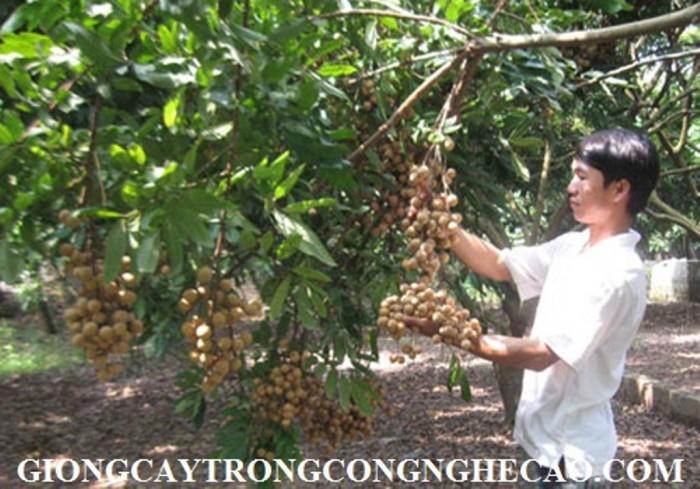Kỹ thuật trồng và chăm sóc giống cây nhãn muộn2