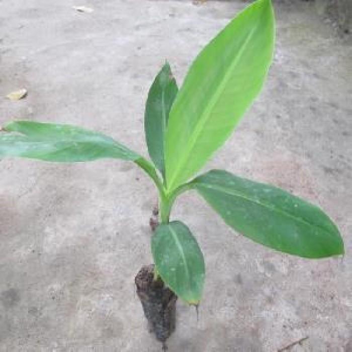 Kỹ thuật trồng và chăm sóc chuối tiêu hồng năng suất cao6
