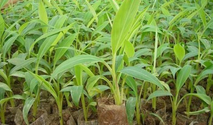 Kỹ thuật trồng và chăm sóc chuối tiêu hồng năng suất cao5
