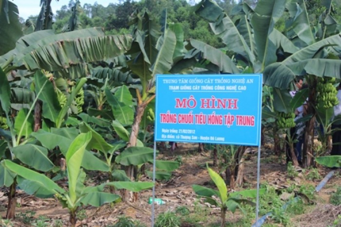 Kỹ thuật trồng và chăm sóc chuối tiêu hồng năng suất cao4