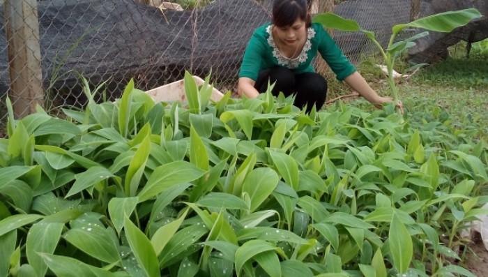 Kỹ thuật trồng và chăm sóc chuối tiêu hồng năng suất cao3