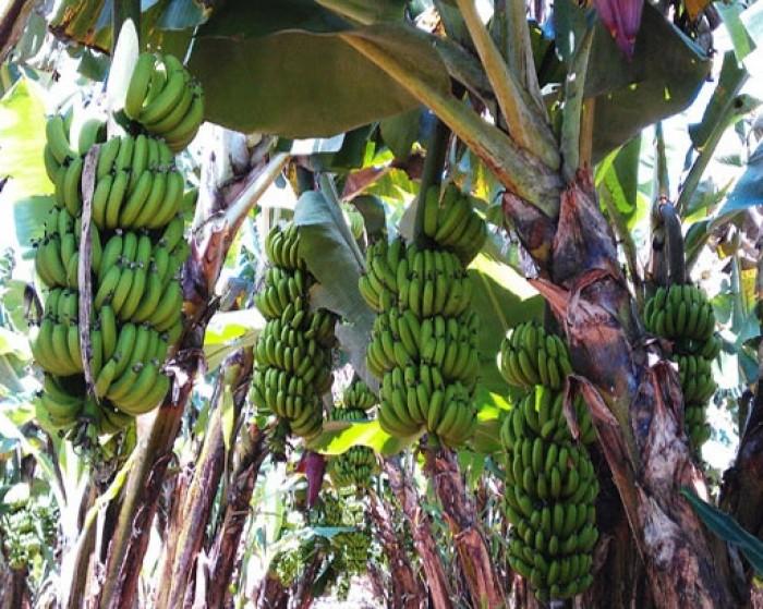 Kỹ thuật trồng và chăm sóc chuối tiêu hồng năng suất cao1
