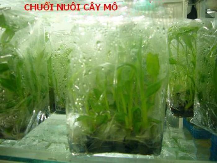 Kỹ thuật trồng và chăm sóc chuối tiêu hồng năng suất cao0