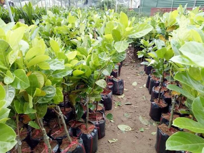 Kỹ thuật trồng và chăm sóc Mít Thái ra trái quanh năm32