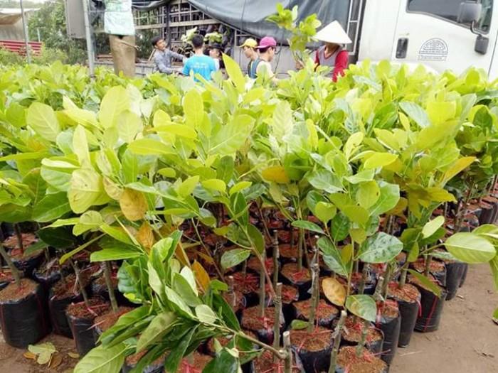 Kỹ thuật trồng và chăm sóc Mít Thái ra trái quanh năm29