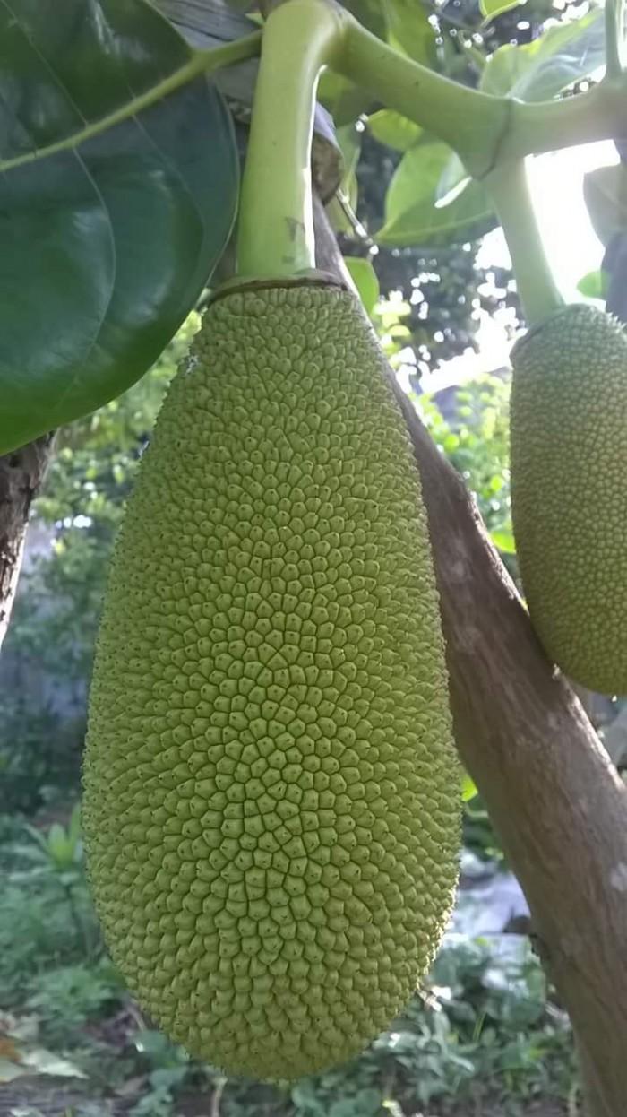 Kỹ thuật trồng và chăm sóc Mít Thái ra trái quanh năm10
