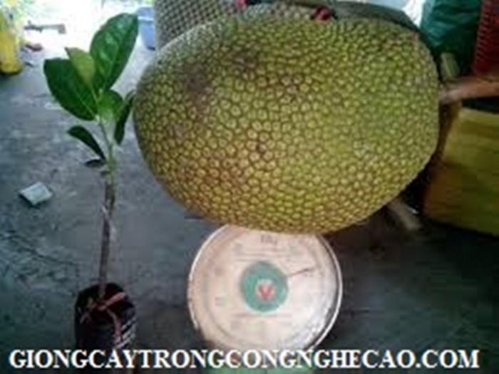 Kỹ thuật trồng và chăm sóc Mít Thái ra trái quanh năm28