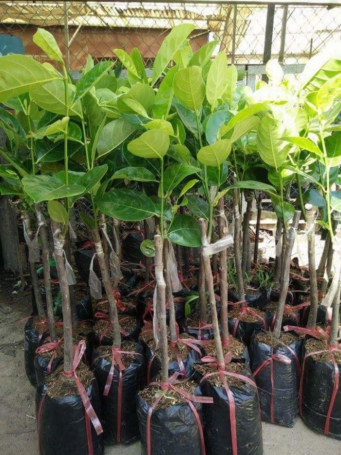 Kỹ thuật trồng và chăm sóc Mít Thái ra trái quanh năm13