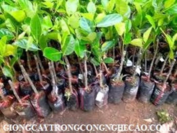Kỹ thuật trồng và chăm sóc Mít Thái ra trái quanh năm25