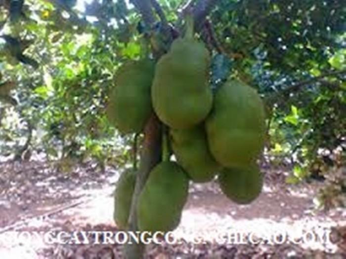 Kỹ thuật trồng và chăm sóc Mít Thái ra trái quanh năm27